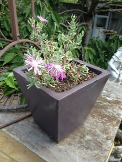 Pink Pig Face in Pot