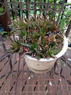 Potted Black Aloe Vera